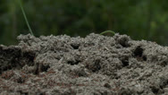 Stock Video Footage of Busy Ant Hill