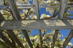 white wisteria on wooden awning - stock photo
