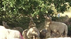 Flock of Veluwe heath sheep grazing under oak tree Stock Footage