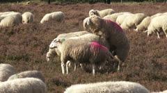 Flock of Veluwe heath sheep, ram mounting ewe 01 - stock footage