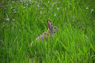 Stock Photo of Rabbit hiding in grass