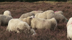 Flock of Veluwe heath sheep, ram mounting ewe Stock Footage