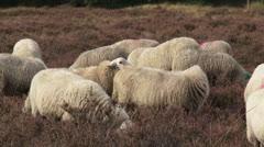 Flock of Veluwe heath sheep, ram mounting ewe - stock footage