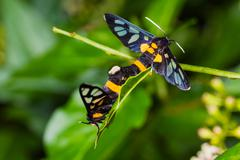 pair of euchormiid butterfly mating - stock photo