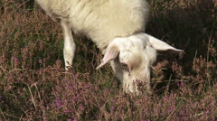 Veluwe heath sheep grazing in heath landscape - close up Stock Footage