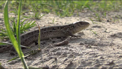 Lizard on the road Stock Footage