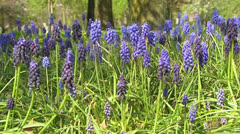 Bunch of Common grape hyacinth - low angle Stock Footage