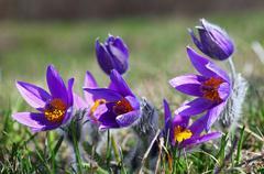 purple pulsatilla grandis - stock photo