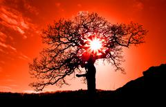 Old oak in sunset with sun Stock Photos