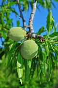 Almond tree with fruits Stock Photos