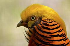 Portrait golden pheasant Stock Photos