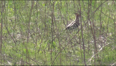 Hoopoe Stock Footage