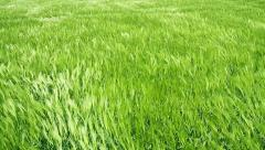 Green Wheat Field Waves Moved by Summer Wind Nature Crane Shot Background HD Stock Footage
