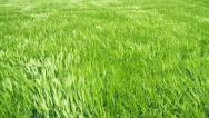 Stock Video Footage of Green Wheat Field Waves Moved by Summer Wind Nature Crane Shot Background HD