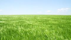 Wheat Field Waves Moved by Summer Wind Nature Crane Shot Background HD Stock Footage