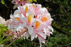 fragrant pink azaleas - stock photo