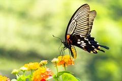 Brilliant swallowtail butterfly feeding on flowers Stock Photos