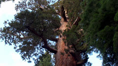 Giant sequoia at Mariposa Grove, Yosemite NP, California. - stock footage