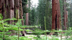Giant sequoias at Mariposa Grove, Yosemite NP , California. - stock footage