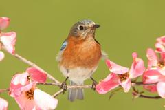 bluebird with dogwood flowers - stock photo