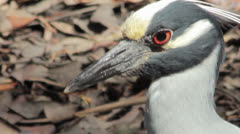 Yellow-crowned Night Heron (Nyctanassa violacea) Stock Footage