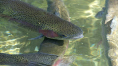 Rainbow trout Stock Footage