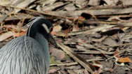Stock Video Footage of Yellow-crowned Night Heron (Nyctanassa violacea)