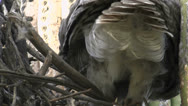 Stock Video Footage of Great Horned Owl Tail Feathers