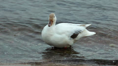 Beautifull white duck Stock Footage