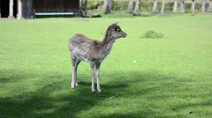Baby deer standing on the green grass and looking around Stock Footage