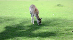 Baby deer eating fresh green grass in the park Stock Footage