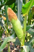Close up of ears mature corn Stock Photos