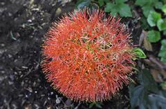 allium flower - stock photo