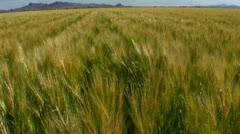 Wheat Field Wind Gust Stock Footage