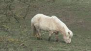 Small pony grazes. Stock Footage