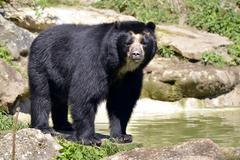 Andean bear Stock Photos