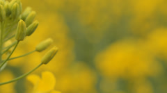 Field on which the plant flowers rapa (macro camera slider) Stock Footage