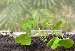 Indoor gardening -nasturtium seedlings in a greenhouse Stock Photos
