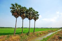 four palm and green paddy in thailand - stock photo