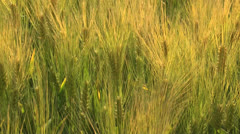 Golden Durum Wheat Close Up Stock Footage