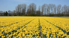 Yellow narcissus field in the Netherlands Stock Footage