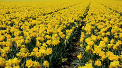 Stock Video Footage of Paths in the yellow narcissus fields in the Netherlands