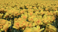 Close up of yellow narcissus growing in the Netherlands - stock footage