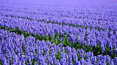 Stock Video Footage of Paths in a blue hyacinth field in the Netherlands