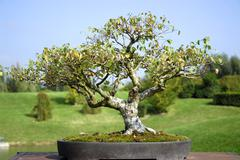 Bonsai Alba birch - stock photo