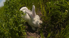 Rabbit runs across the field and eating grass Stock Footage