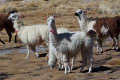 lamas - stock photo