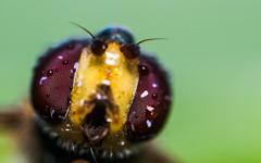 The Wondrous Compound Eyes of a Hover Fly - stock photo