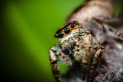 The Jumping Spider that Gazes Off Stock Photos
