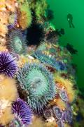 anemones on reef - stock photo